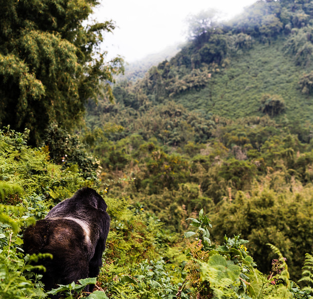 A Silver Back surveying the land after having pushed a few of us out of the way since we had already cleared a path for him. I could almost hear him walk by saying damn tourists don't know how to walk on the path.<br /> To get to the gorillas after our hike to their general position was walking on and through slippery brush at a 40° angle sliding and stopping.<br /> Shutter Speed: 1/160<br /> Aperture: f/4<br /> ISO: 100<br /> .<br /> .<br /> .<br /> .<br /> .<br /> .<br /> .<br /> .<br /> .<br /> .<br /> #Travel #Africa #Rwanda #mountaingorillas<br /> #goexplore #gooutside #optoutside #sonyalphaexplorers #sonyalpha #gorillas #wildlifephotography #agashya<br /> #agashyagorillafamily #conservation #virunga #wildlife #natgeo #BeAlpha #cloudymorning #trekking #protectourenviroment