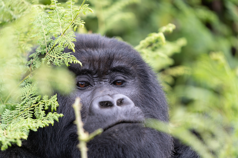 Does much need to be said, but Mountain Gorillas. This may have been one of the most amazing encounters with wildlife I've ever had. More photos & stories to come when I have a moment to edit.<br /> <br /> Shutter Speed: 1/250<br /> Aperture: f/4<br /> ISO: 1000<br /> .<br /> .<br /> .<br /> .<br /> .<br /> .<br /> .<br /> .<br /> .<br /> .<br /> #Travel # Africa #Rwanda #mountaingorillas<br /> #goexplore #exploreoutdoors #optoutside #sonyalphaexplorers #natgeoyourshot #gorillas #animals <br /> #conservation #virunga #wildlife #natgeo #sonyalpha #cloudymorning #trekking
