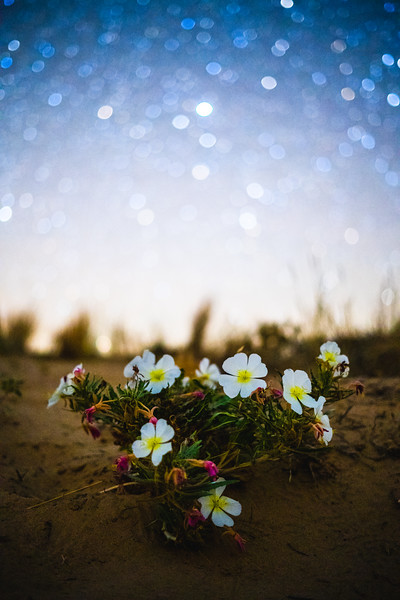 Dune Primroses at Night
