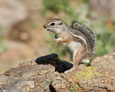 Harris's Antelope Ground Squirrel