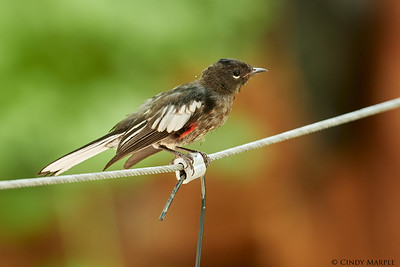 Painted Redstart Juvenile