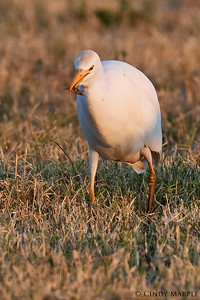 Cattle Egret with cricket