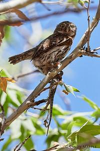 Northern Pygmy Owl female
