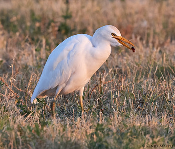 Cattle Egret with roach