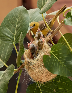 Hooded Oriole feeding nestlings