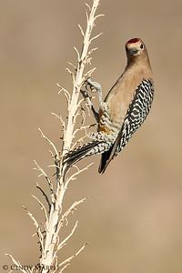 Gila Woodpecker male