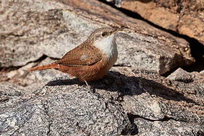 Canyon Wren