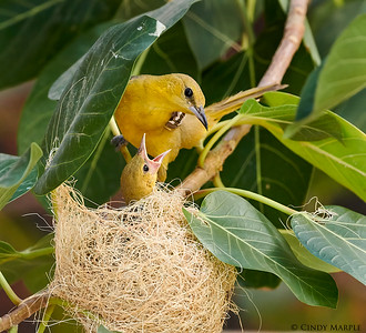 Hooded Oriole feeding nestling