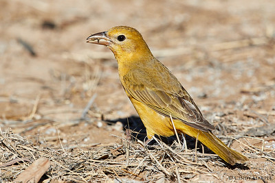 Summer Tanager female with ground bee