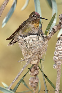 Anna's Hummingbird with nestlings