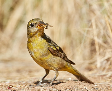 Western Tanager female with ground bee