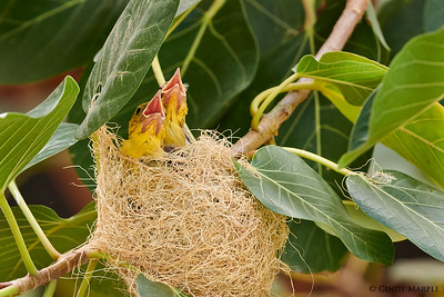 Hooded Oriole nestlings