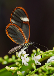 Costa Rica Clearwing