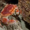 Coral Crab
