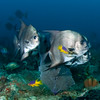 Spadefish at Spanish Hogfish cleaning station