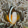 Clark's Anenomefish