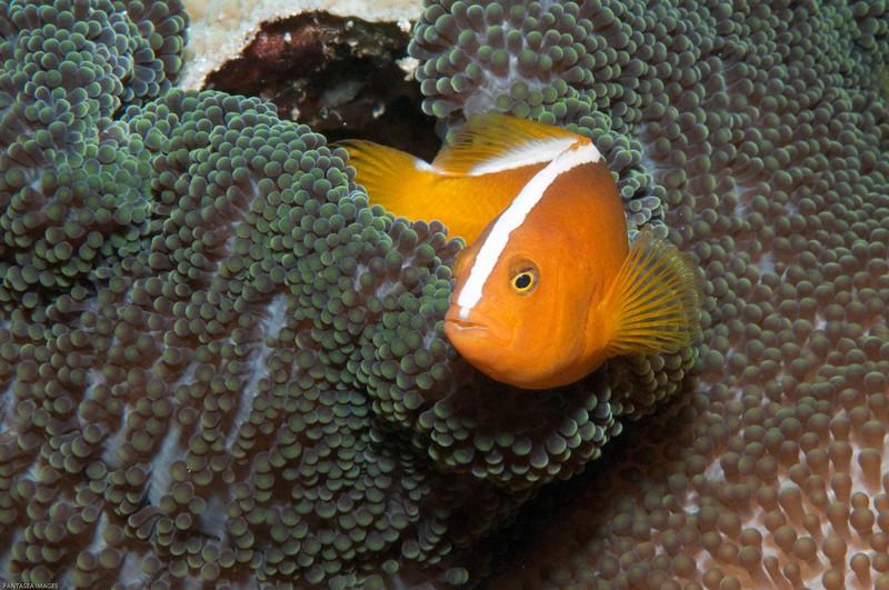 Orange Anenomefish