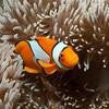 False Clown Anenomefish