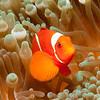 Spinecheek Anenomefish