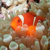 Spinecheek Anemonefish