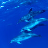 Spotted Dolphins - Palm Beach