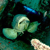 Golaith Grouper in wreck with Fish Hook