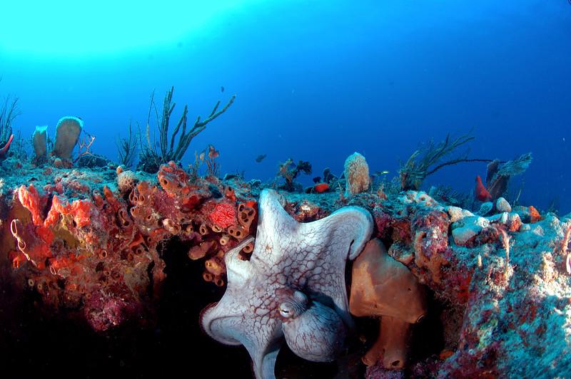 Octopus - Palm Beach