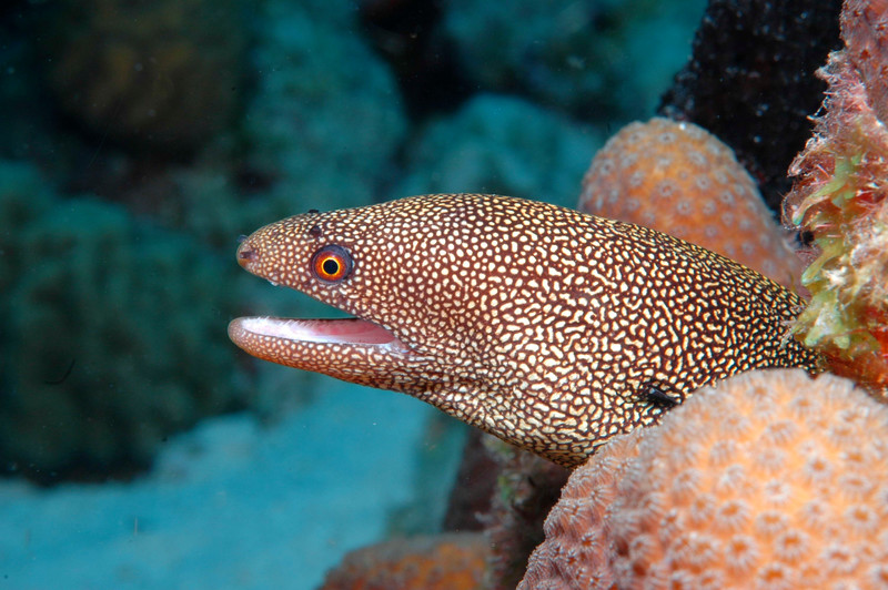 Gold Spot Moray - Bonaire