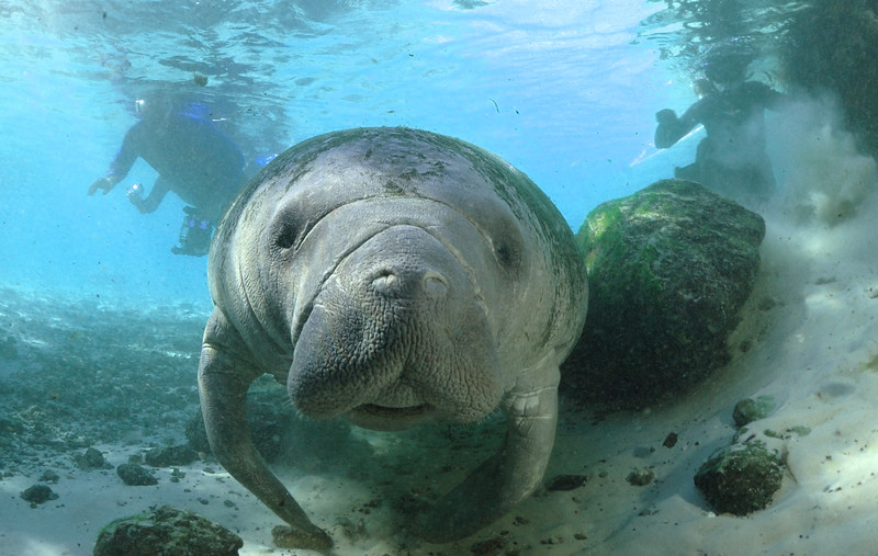 Manatee - Crystal River