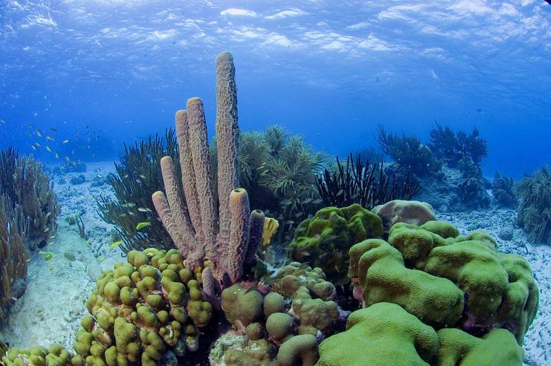 Tube Sponge - Bonaire