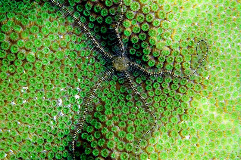 Brittle Star - Bonaire