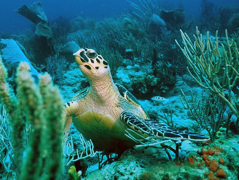 Hawks Bill Turtle - Palm Beach