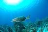 Hawksbill Turtle - Grand Cayman