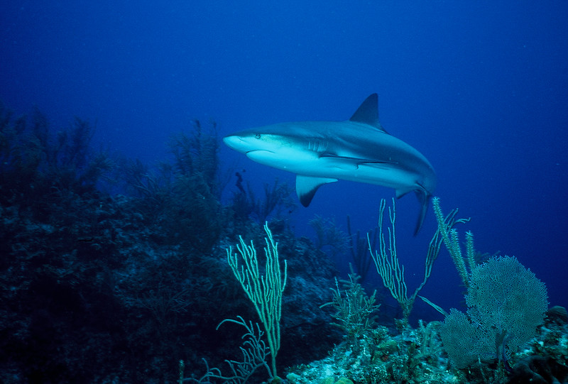 Reef Shark - Grand Bahama