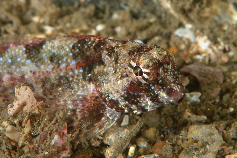Snubnose sculpin, Orthonopias triacis<br /> Golf Ball Reef, Palos Verdes, Los Angeles County, California