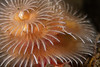 Christmas tree worm, Spriobranchus spinosus<br /> Golf Ball Reef, Palos Verdes, Los Angeles County, California