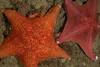 Bat stars, Patiria miniata<br /> Garden Spot, Palos Verdes, California
