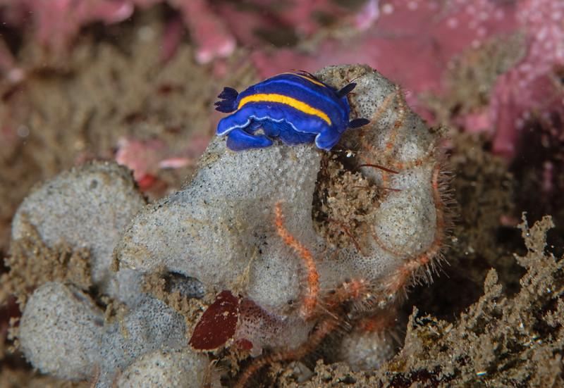 Felimare porterae<br /> Golf Ball Reef, Palos Verdes Peninsula, Los Angeles County, California