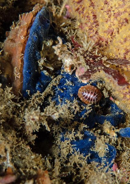 Cobalt sponge, Acanthancora cyanocrypta, and coffee bean snail, Pseudopusula californiana<br /> Biodome, Palos Verdes, Los Angeles County, California