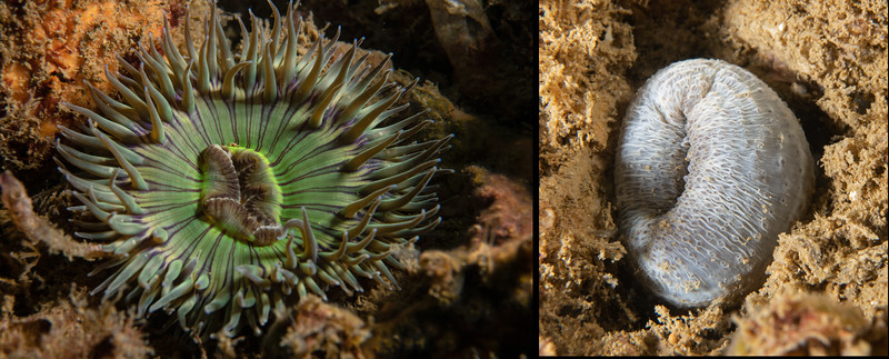 Anemone and its column