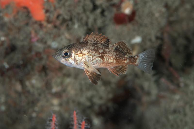 Juvenile vermilion or sunset rockfish<br /> Golf Ball Reef, Palos Verdes, California