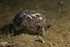 Gould's bubble snail, Bulla gouldiana<br /> King Harbor, Redondo Beach, Los Angeles, California