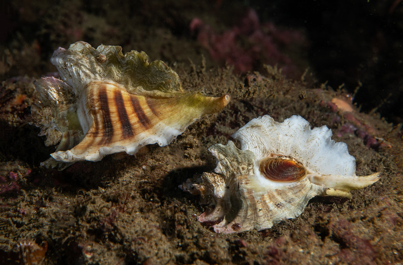 Three-winged murex, Pteropurpura trialata<br /> Golf Ball Reef, Palos Verdes California, Los Angeles County, California