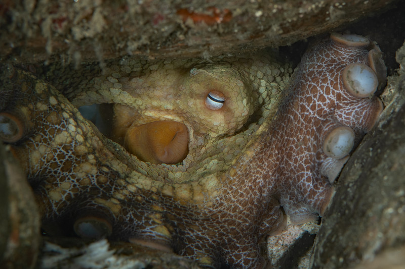 Two-spot octopus<br /> Golf Ball Reef, Palos Verdes Peninsula, Los Angeles County, California