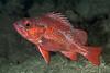 Vermilion rockfish, Sebastes miniatus<br /> Hawthorne Reef, Palos Verdes, Los Angeles County, California