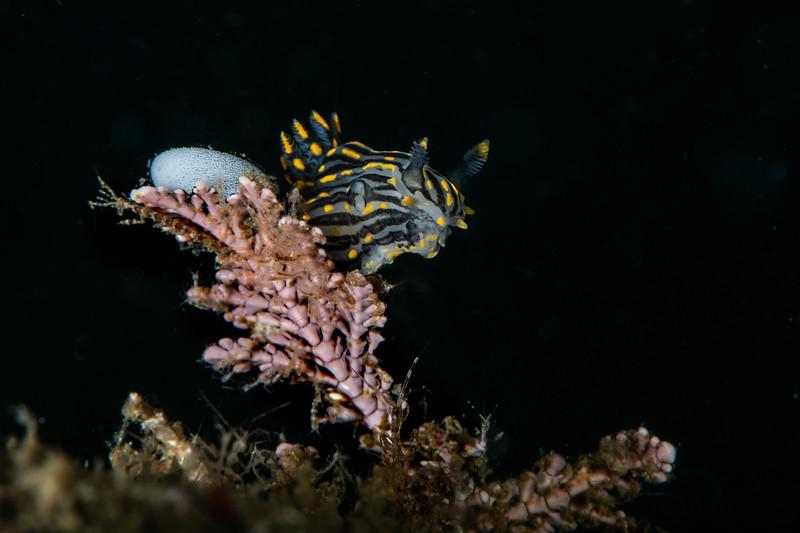 Polycera atra and egg mass<br /> Golf Ball Reef, Palos Verdes, California