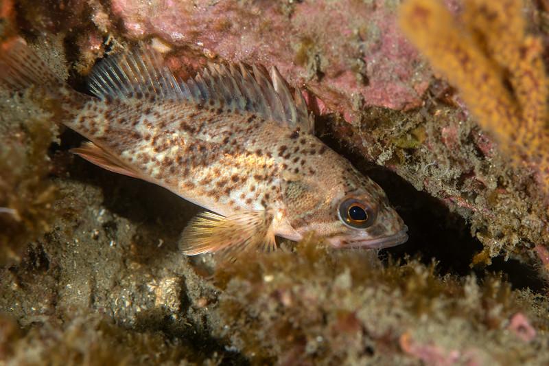 Juvenile calico rockfish, Sebastes dalli<br /> Golf Ball Reef, Palos Verdes, California