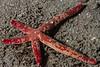 Fragile star, Linckia columbiae<br /> Willow Cove, Catalina Island, Los Angeles County, California