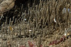 Spionid worms,<br /> King Harbor, Redondo Beach, Los Angeles County, California
