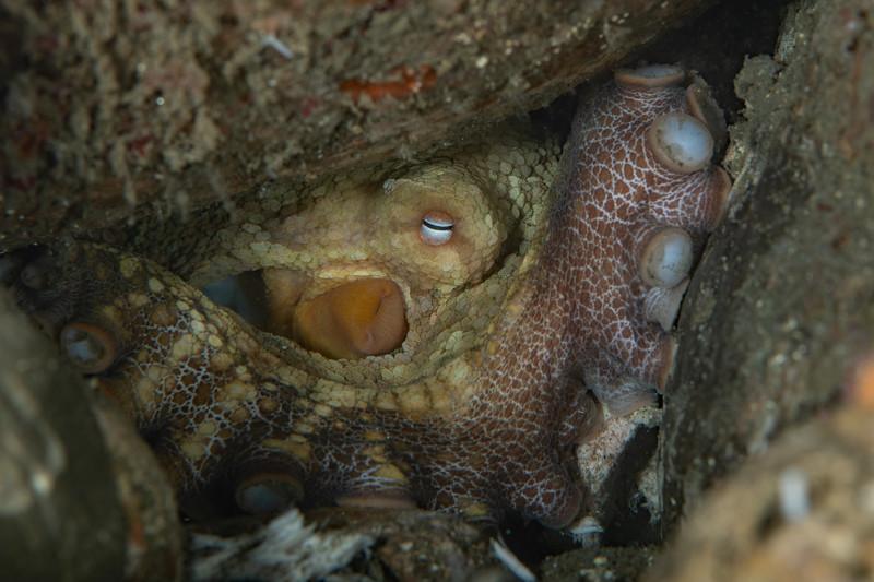 Two-spot octopus<br /> Golf Ball Reef, Palos Verdes Peninsula, Los Angeles County, California